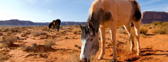 Adopting Wild Horses and Burros Online